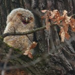 Waldkauz Ästling (Strix aluco)