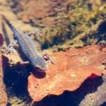 Alpenmolch (Ichthyosaura alpestris)