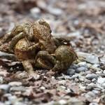 Erdkrötendame mit mehreren Männchen