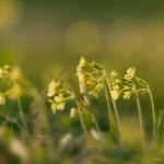 Echte Schlüsselblume - Primula veris