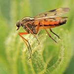 Schnepfenfliege Rhagio scolopaceus