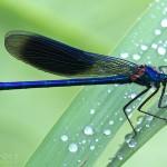 Gebänderten Prachtlibelle (Calopteryx splendens)