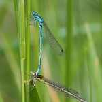 Coenagrion mercuriale - Helmazurjungfer