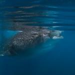 Walhaie