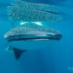 Walhai und Manta