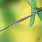 Unbestimmte Kleinlibelle