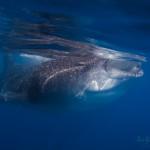Walhai - Waleshark by Juliane Gierth