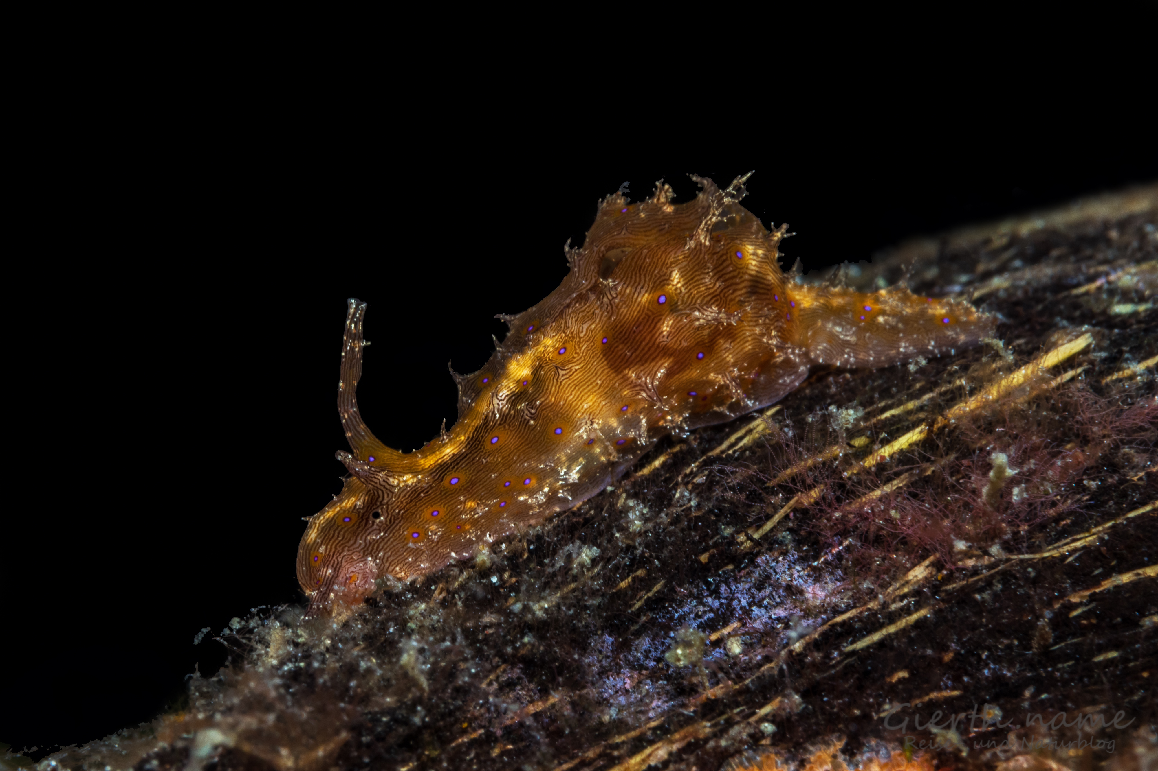 Ein Seehase - Stylocheilusstriatus - auf Kokosnussschale