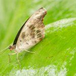 BotMuc, unbestimmter Schmetterling