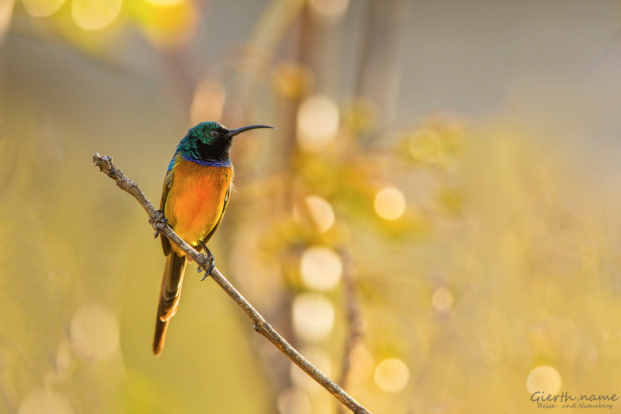 Cape Town, Orange-Breasted-Sunbird
