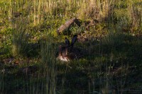 Iberischer Hase