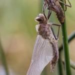 Falkenlibelle beim Schlupf