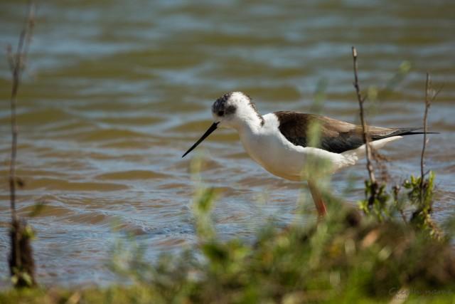 Stelzenläufer, Lagoa Dos Salgados