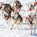 Die Hunde von Angelika Merkel, Siegerin in SP8 - 6-8 Hunde über 34,2 Km Gesamtdistanz