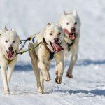 Giesela Königs Hunde mit der Startnummer 62 in Frauenwald