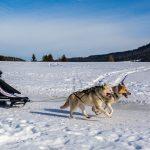 Schlittenhunderennen in Inzell, Musher mit der Nr. 157