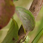 Europäische Laubfrosch (Hyla arborea)